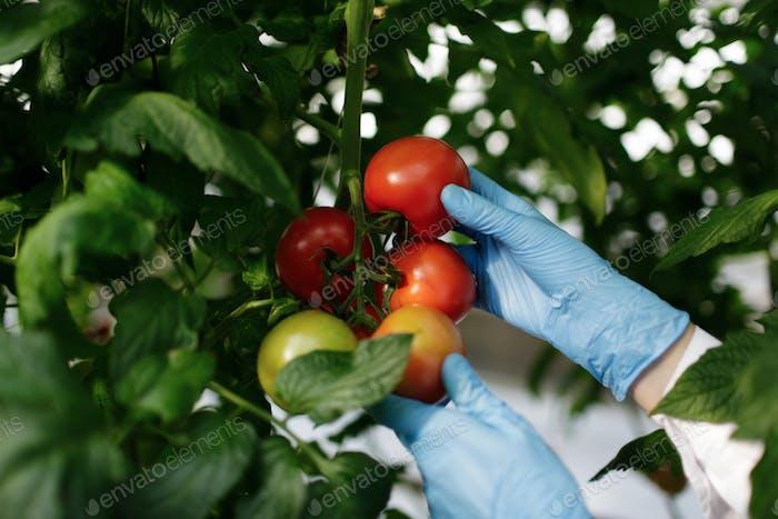 Ученый по еде показывает помидоры в тепли