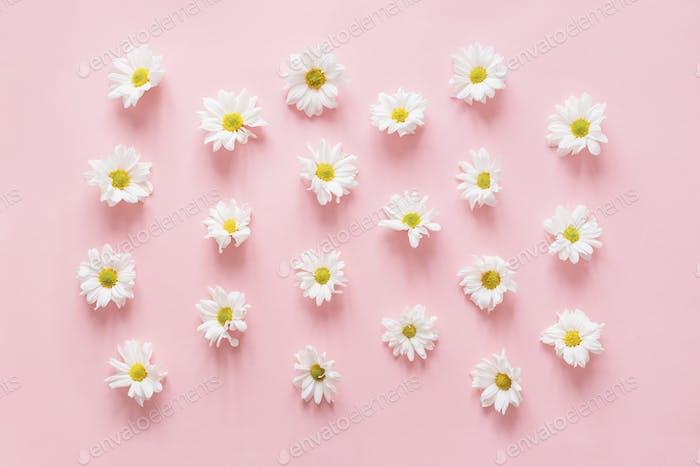 Plenty of white chrysanthemum flowers buds on pink