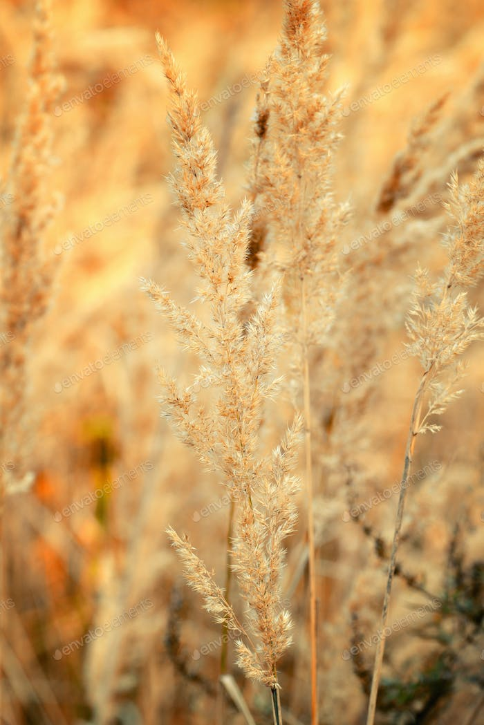 Ornamental Grass in the Fall. Autumn background.