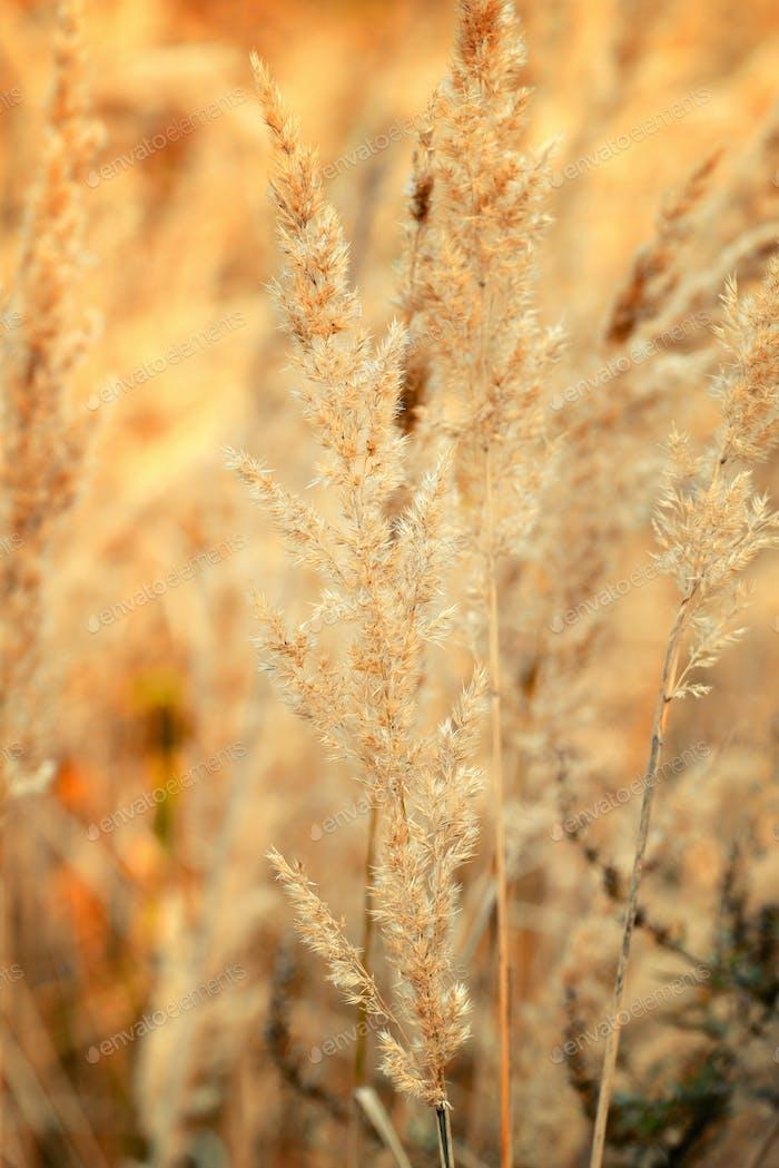 Ziergras im Herbst. Herbsthintergrund.