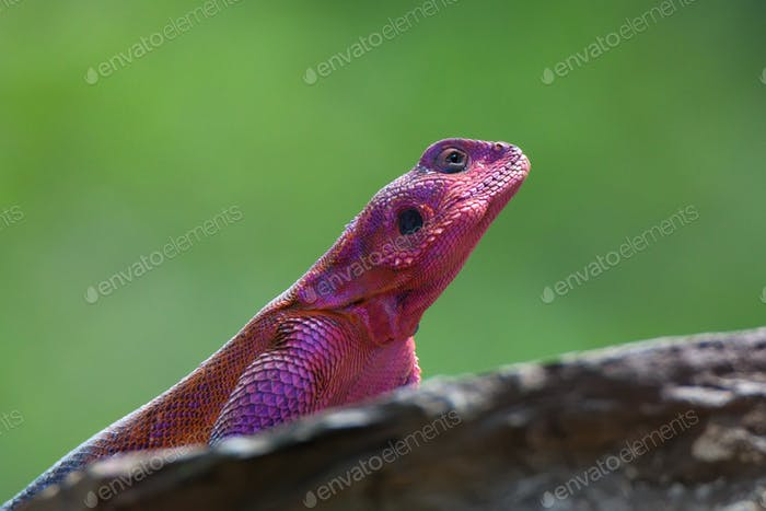 Mwanza flat-headed rock agama
