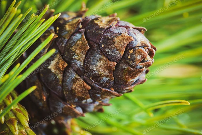 Cone with Nut of Dwarf Stone Pine (Pinus Pumila). Close Up Natural Floral Background, Christmas Mood