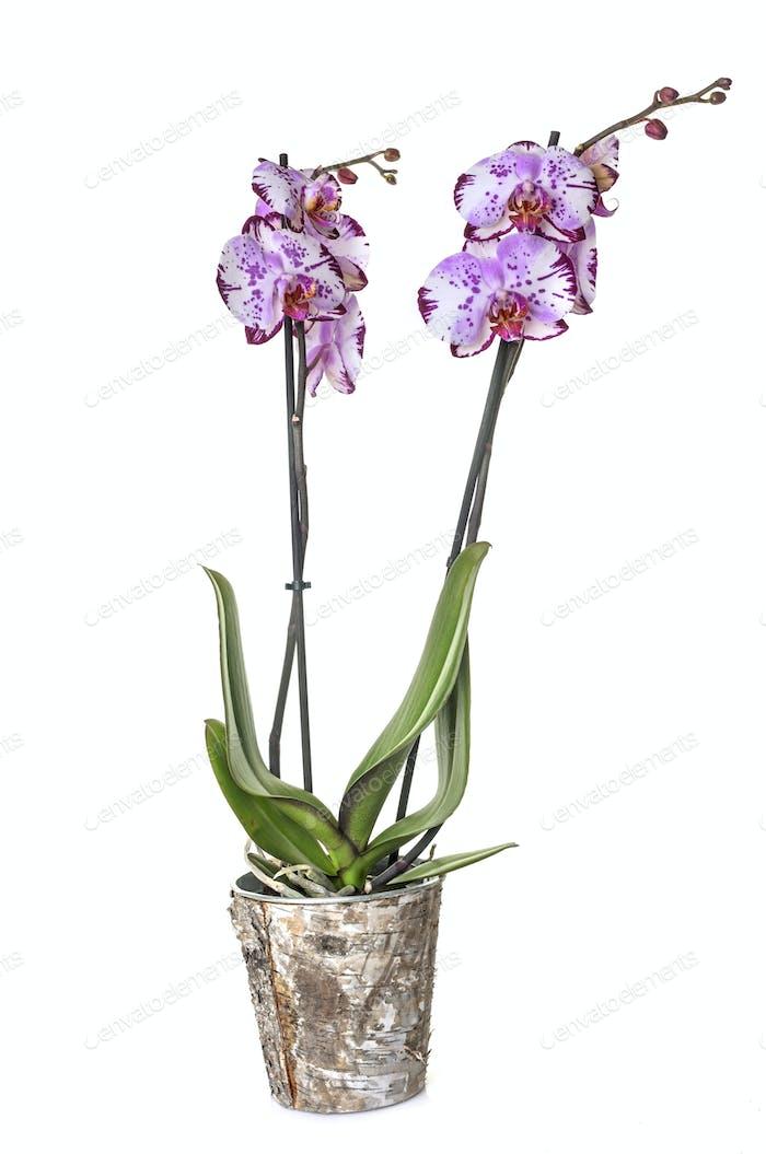 orchid american akita