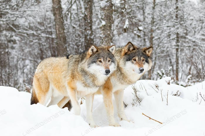 Two magnificent wolves in wolf pack in cold winter forest