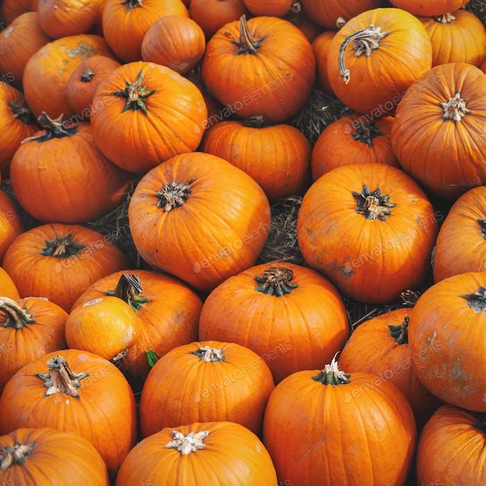 Pumpkin field with many pumpkins