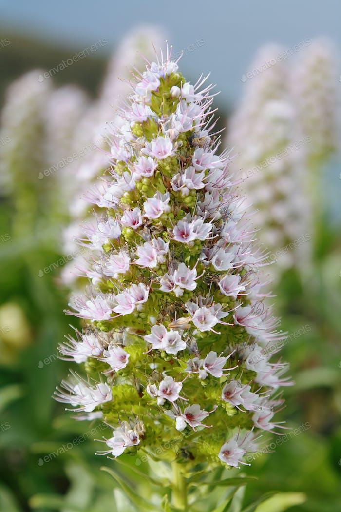 Echium wildpretii trichosiphon flower
