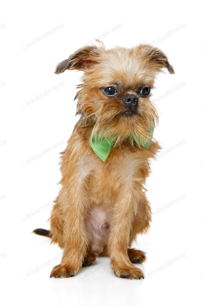 Brussels Griffon puppy with bow tie