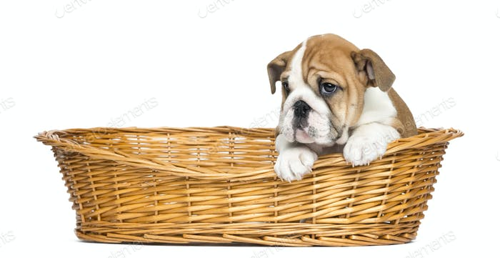 English Bulldog Puppy in a wicker basket, 2 months old, isolated on white