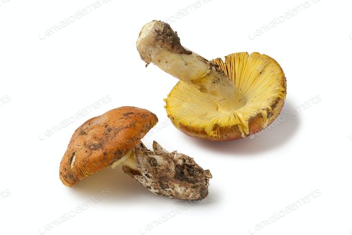 Fresh edible Amanita mushrooms