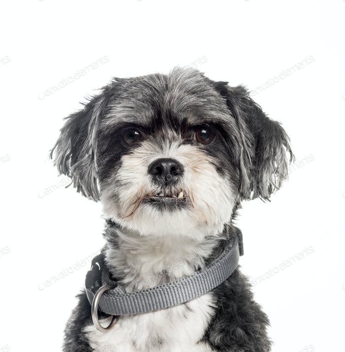 Mixed-breed dog, 6 years old, in front of white background