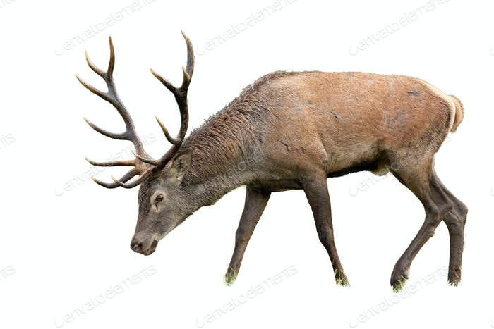 Isolated grazing red deer stag with antlers