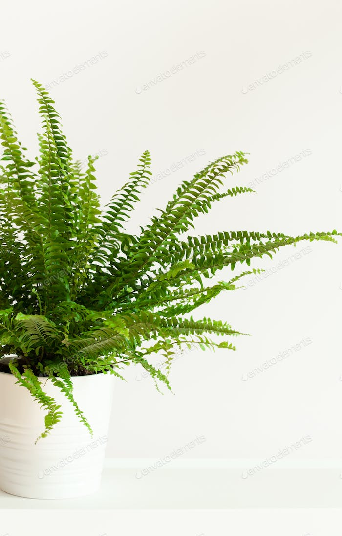 houseplant Nephrolepis in white flowerpot