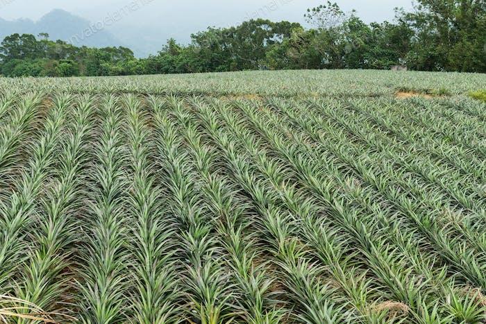 Pineapple tropical fruit in farm