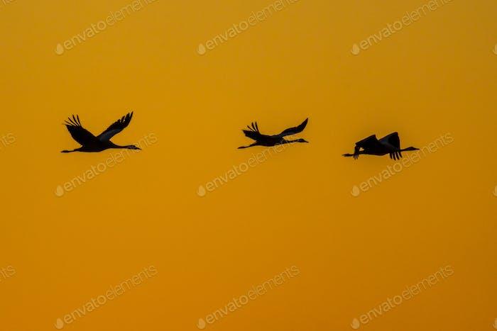 Cranes against orange sky