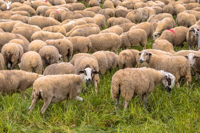 Herd of sheep grazing