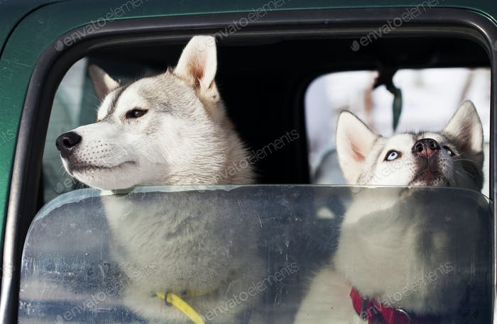 Dogs in the car