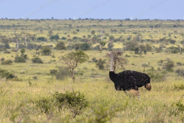 Ostrich male savanna plain