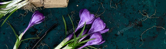 Banner of Gardening tools, peat pots, crocus flower. spring
