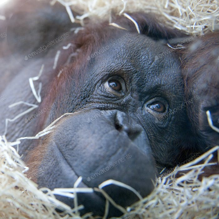 Orangutan - Pongo pygmaeus