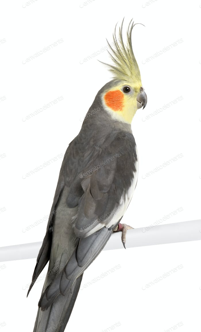 Cockatiel - Nymphicus hollandicus