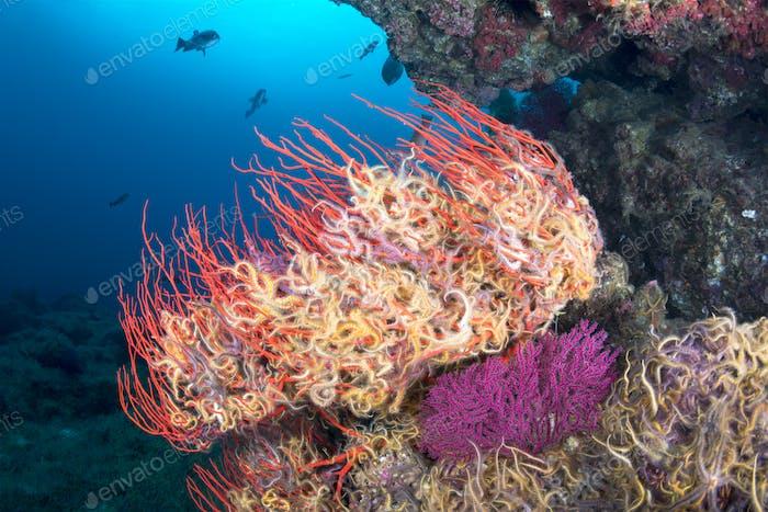 Starfish on seafan