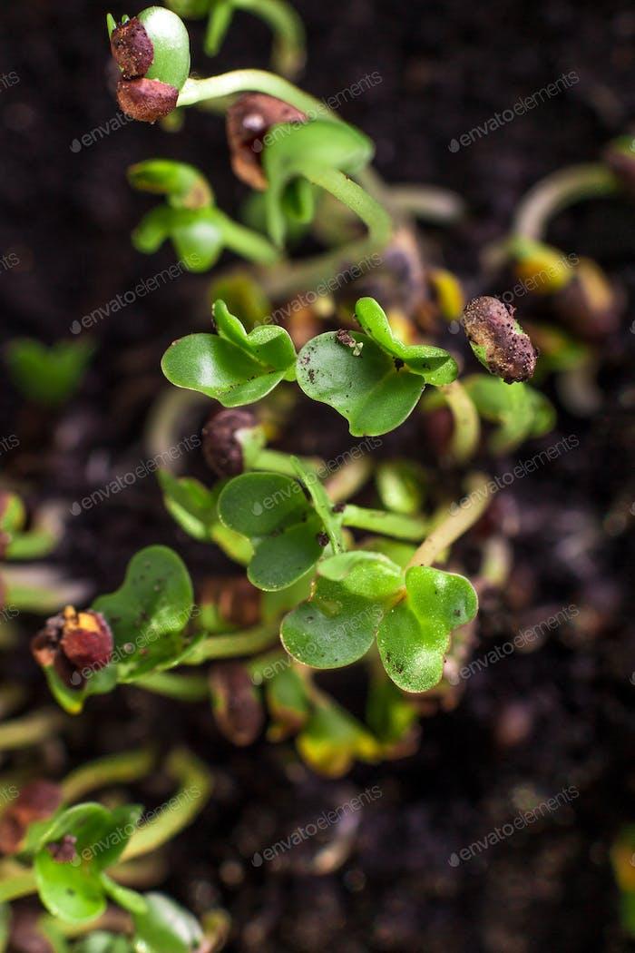 Fresh microgreens makro.  Healthy diet food. Background