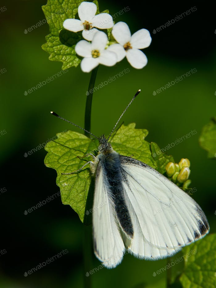 Grüngeädertes Weiß (Pieris napi)