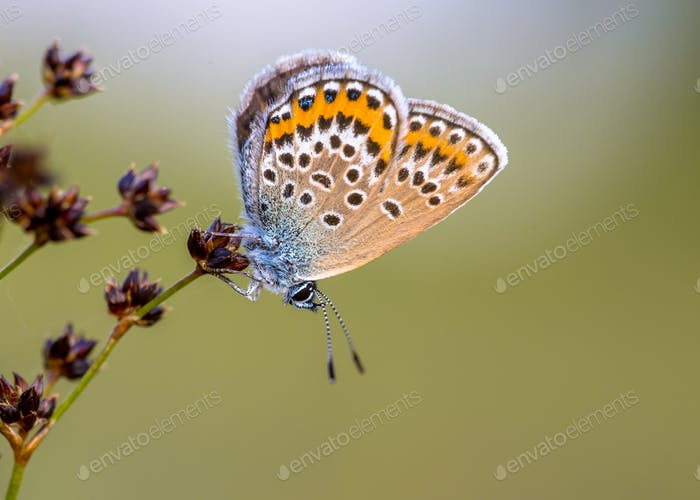Female silver studded blue butterfly resting preparing for night