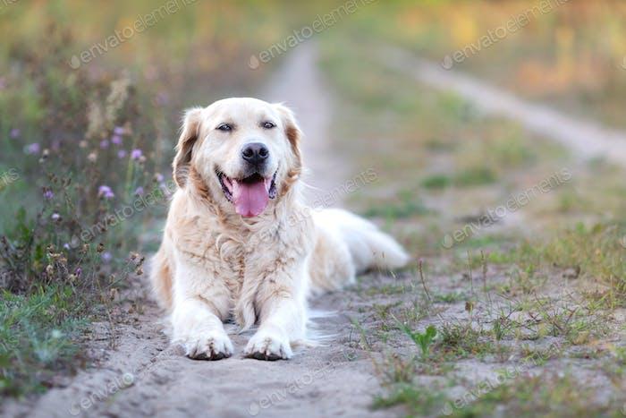 Happy Golden Retriever resting on the path