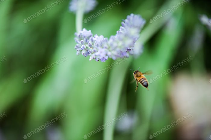 bee fly near lavender bloom