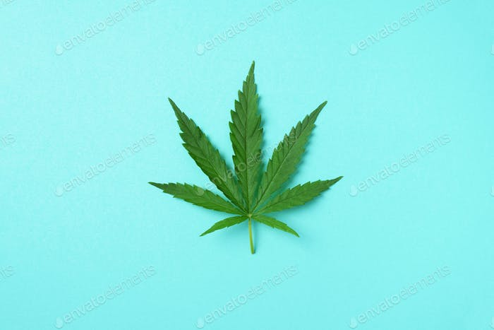 Green hemp leaf on blue background. Top view, copy space. Close up of cannabis leaf