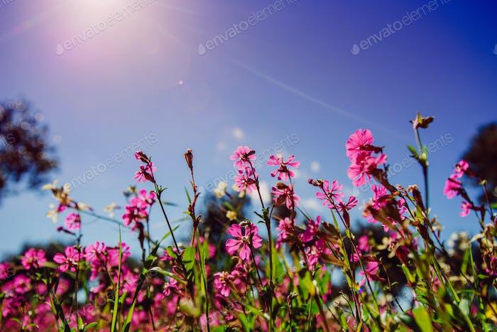 Spring pink flowers.