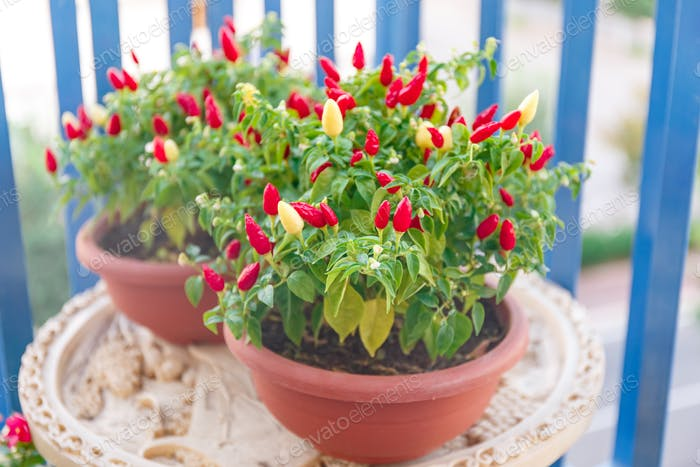 red chili pepper on balcony. Summer nature view.