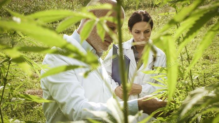 Forscher überprüfen Hanfpflanzen im Feld