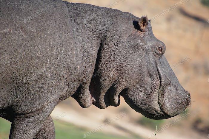 Hippopotamus, Chobe National Park, Botswana