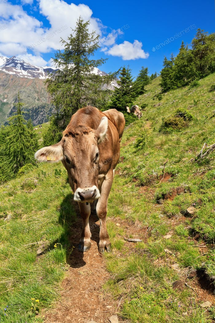 Cow on alpine path