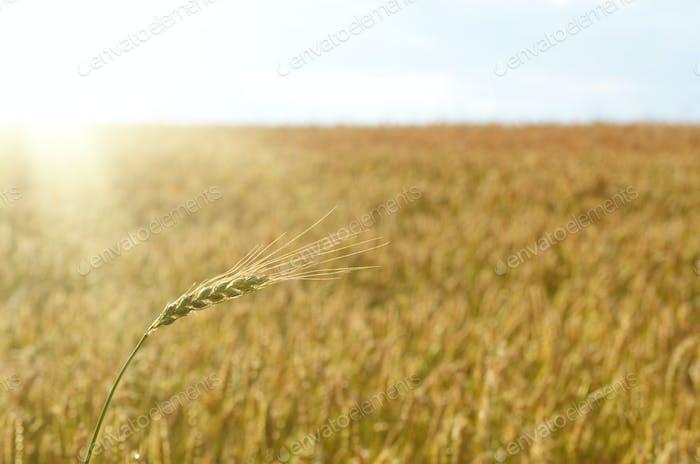 Wheat field sunny day under blue sky