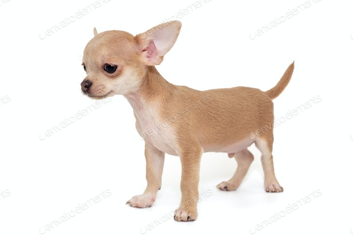 Small, beige color Chihuahua puppy