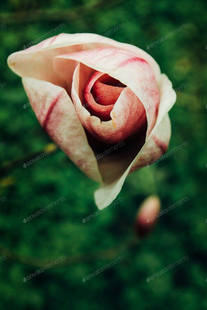 schöne bunte neue Blumen rosa Magnolie im botanischen Garten im Frühling