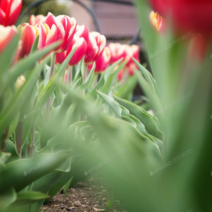 Tulips on a flower bed