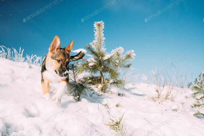 Playful Puppy Dog Playing Running In Snowy Forest In Winter Day