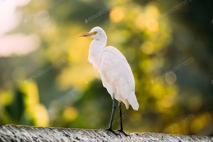 Goa, India. White Little Egret Sitting On Crossbar