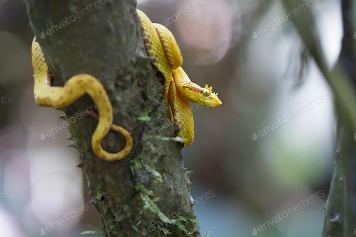 Wimpern Viper klammert an einem Baum in Costa Rica