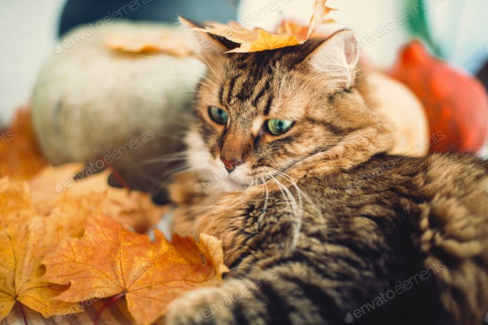 Cute tabby cat playing with autumn leaves