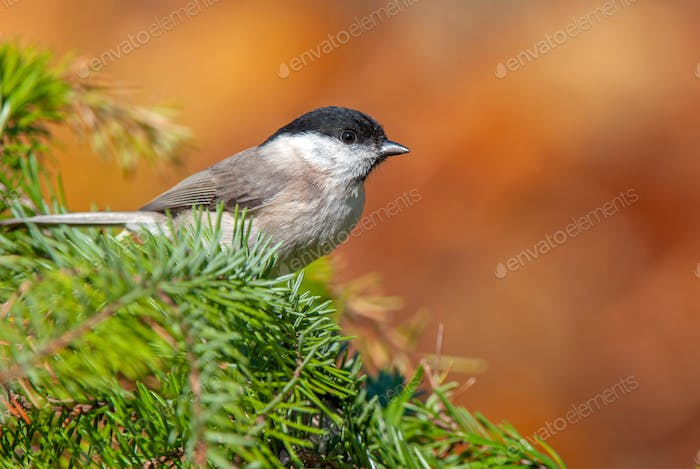 Marsh tit, perching on a twig