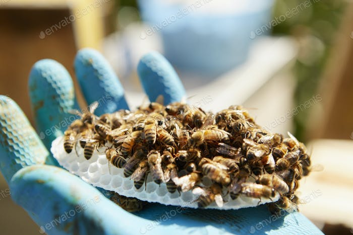 A hand holding a small plastic honeycombe form covered in honey bees.