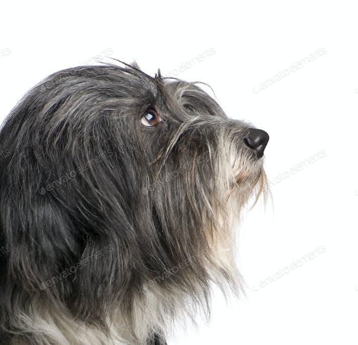 Tibetan Terrier (7 years)