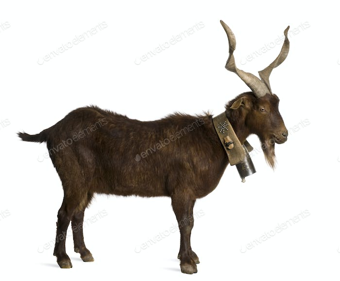 Male Rove goat, 6 years old, in front of white background