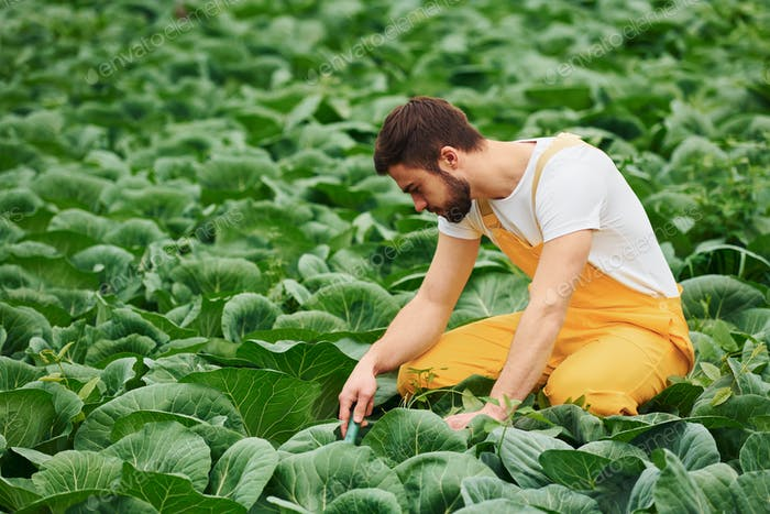 Taking care of cabbage. Young greenhouse worker in yellow uniform have job inside of hothouse