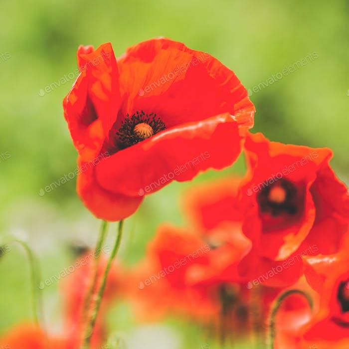 Poppy flower on the green field